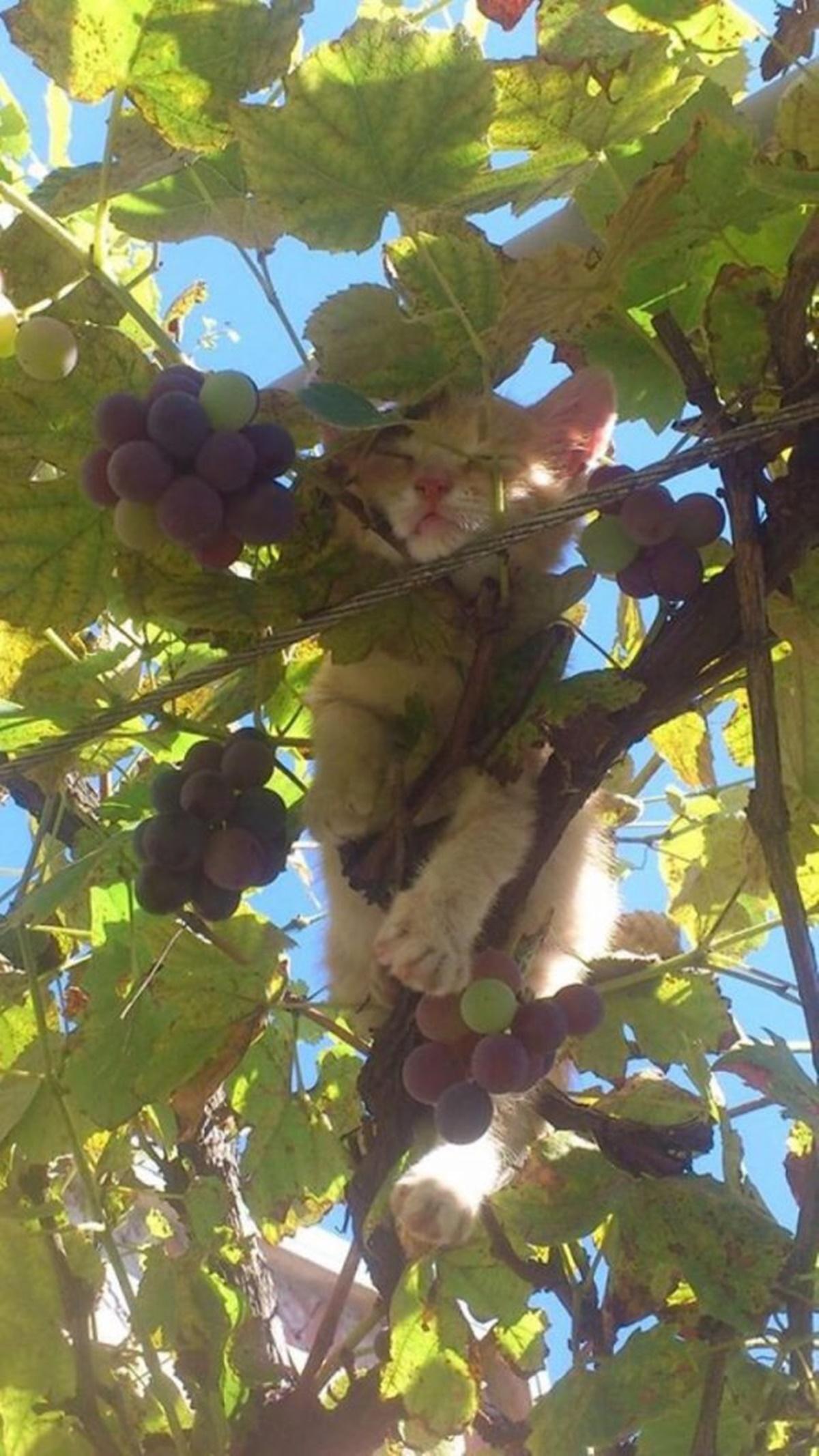 gatto uva