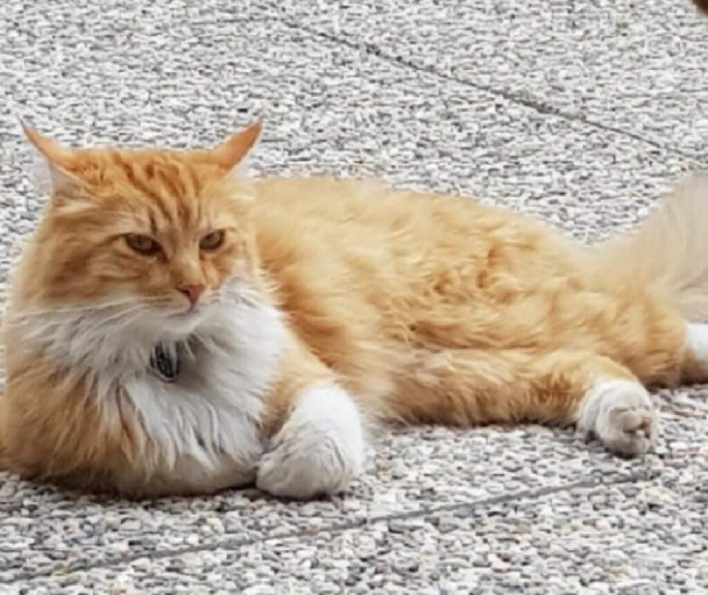 gatto strada chiara dal pelo arancione