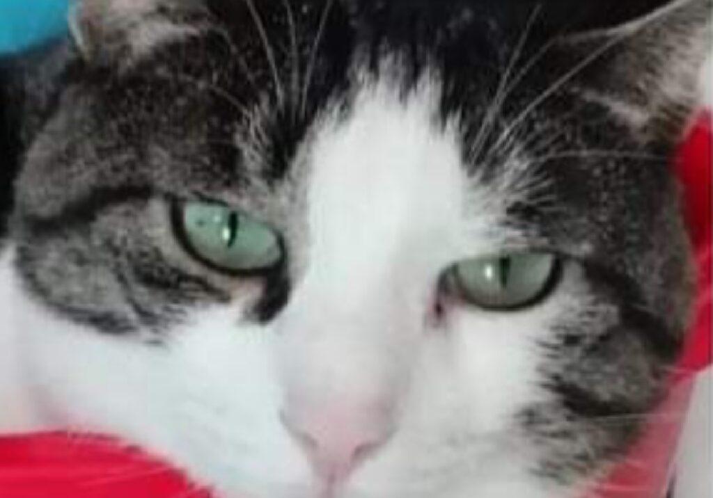 gatto choppy macchia sotto occhio