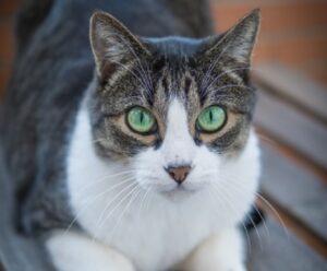 gatto choppy scompare nel nulla procedono ricerche
