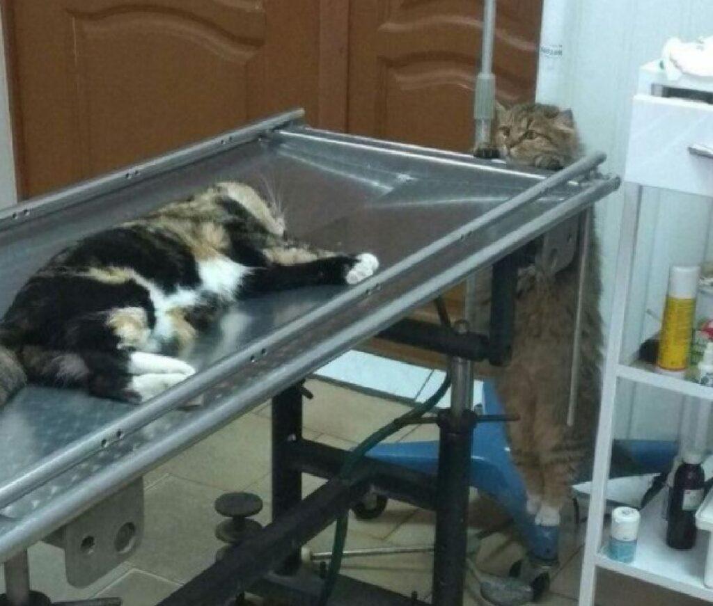 gatto preoccupato amico veterinario