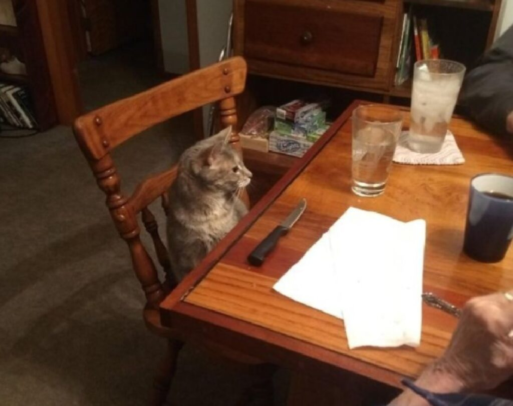 gatto impaziente aspetta cena