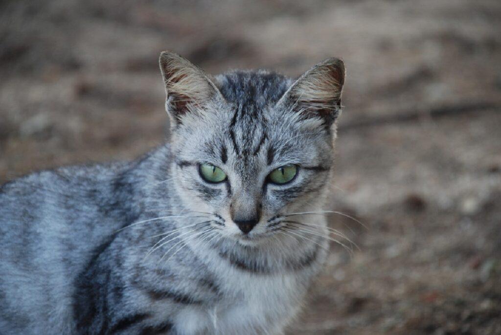 gatto tigrato dolce