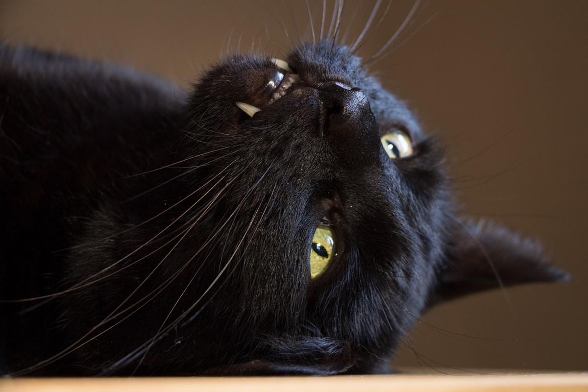 gatto denti