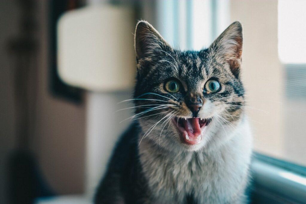 gatto che miagola forte
