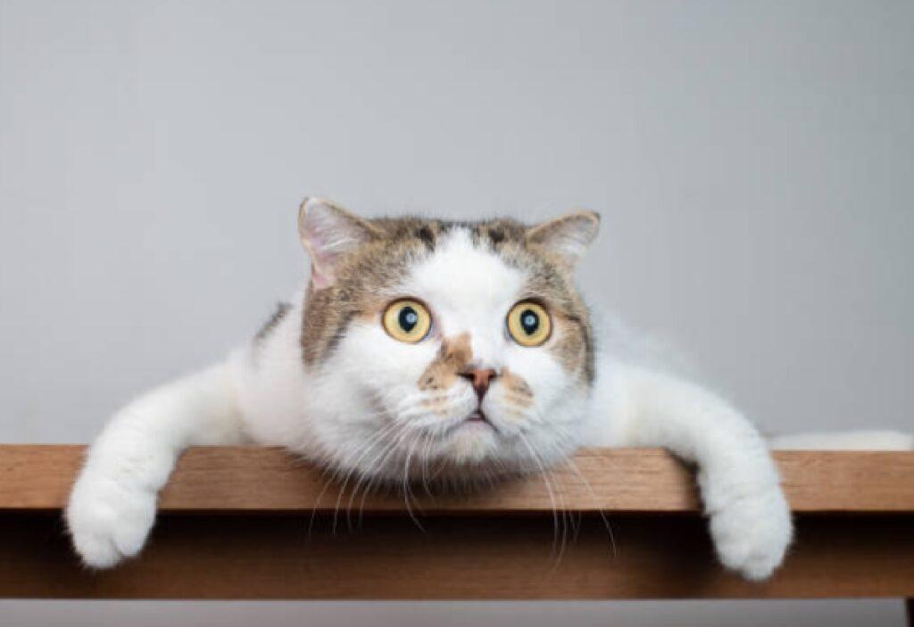 gatto bainco appoggiato traversa legno