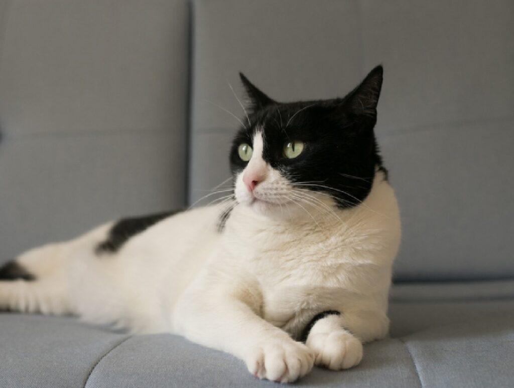 gatto guarda a sinistra con sguardo fisso