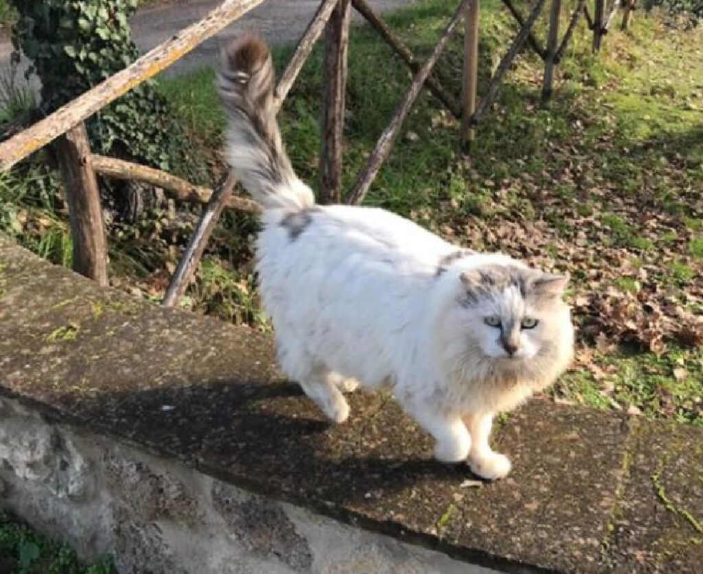 gatto bianco pelo lungo cammina muretto