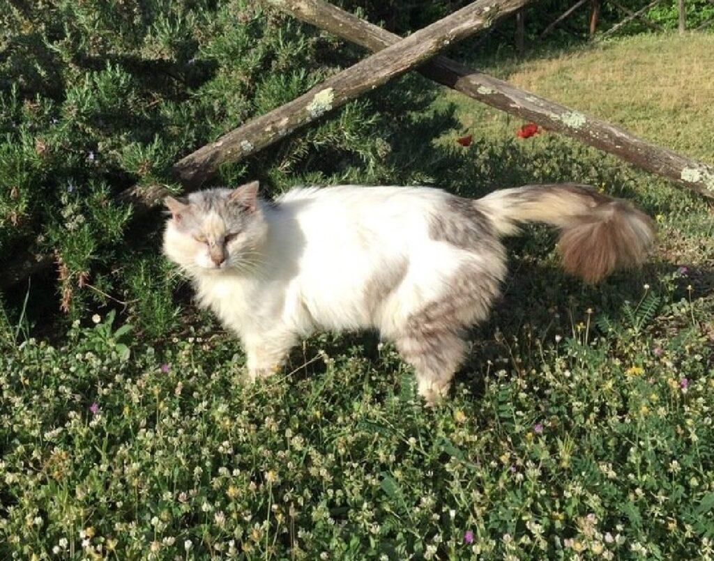 gatto agostino cammina erba alta