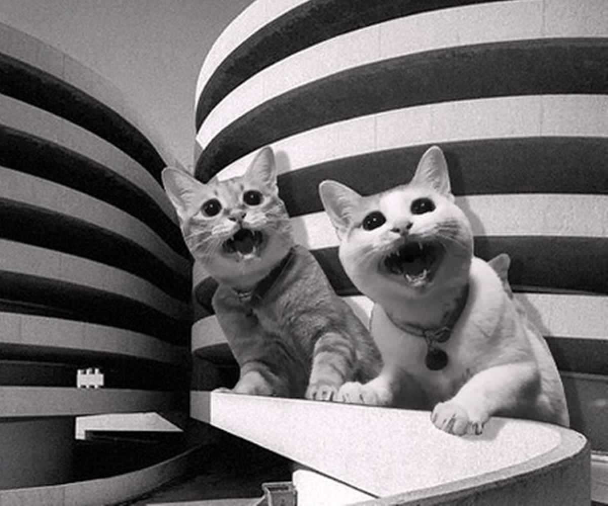 gatti urlano