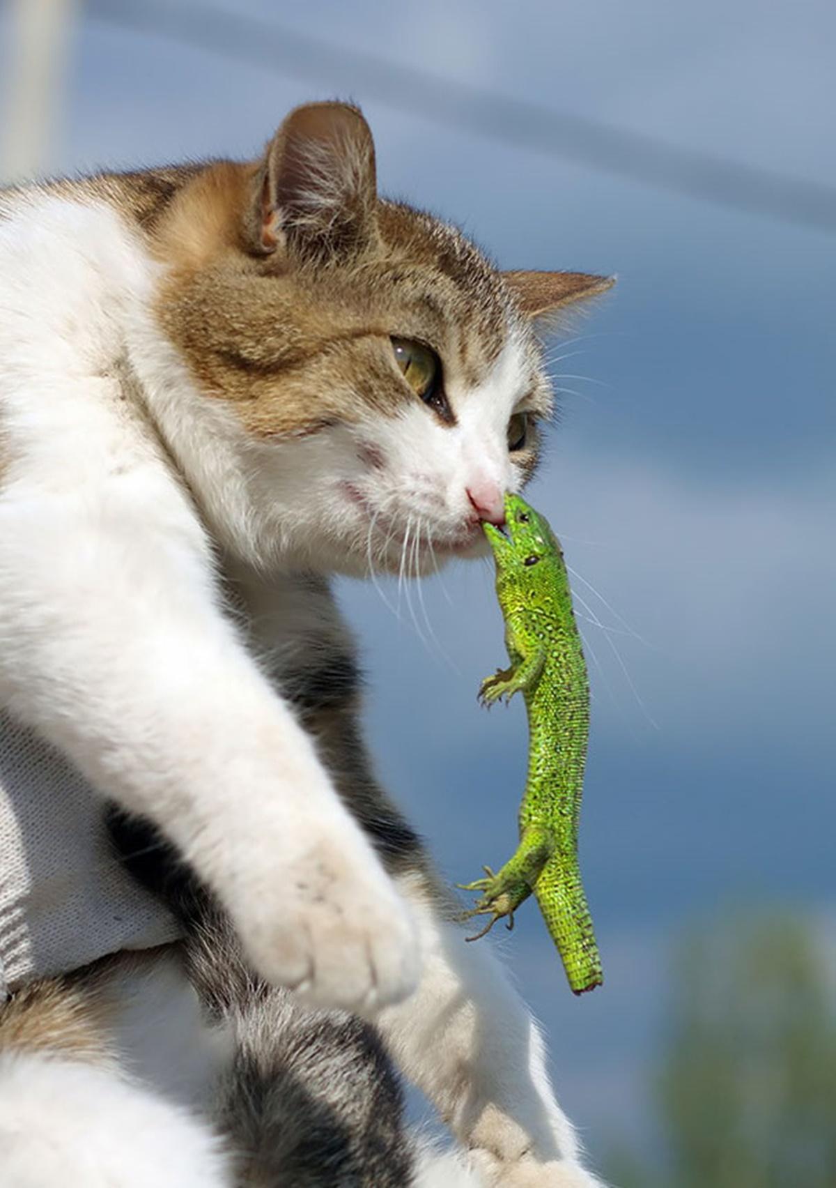 gatto lucertola