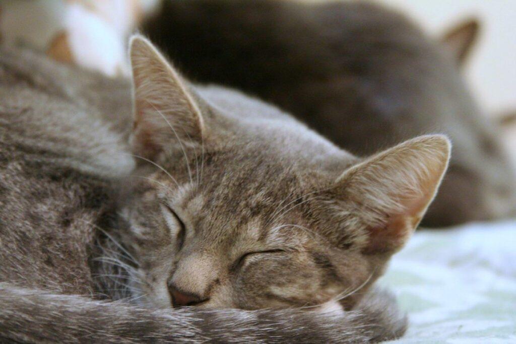 micio sonnellino stanco