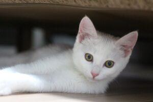 micio bianco stupendo