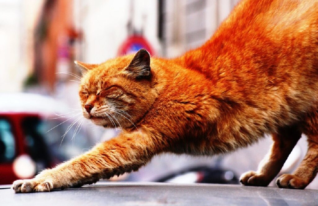 gatto arancione stirare