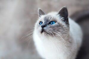 gatto bianco muso