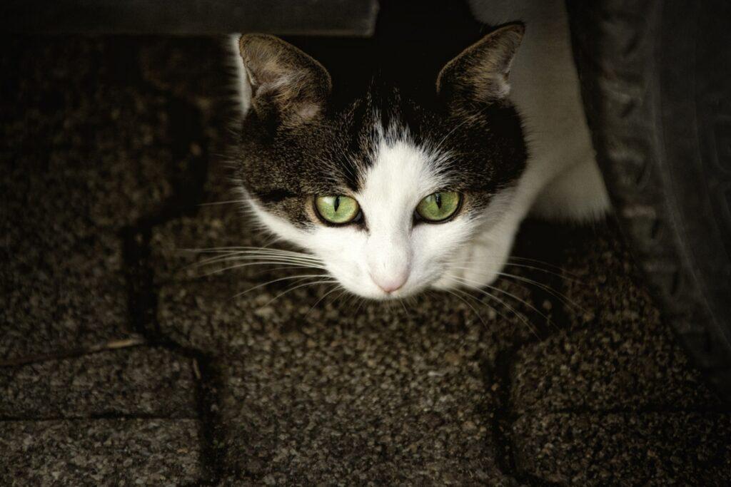 felino dolce sguardo