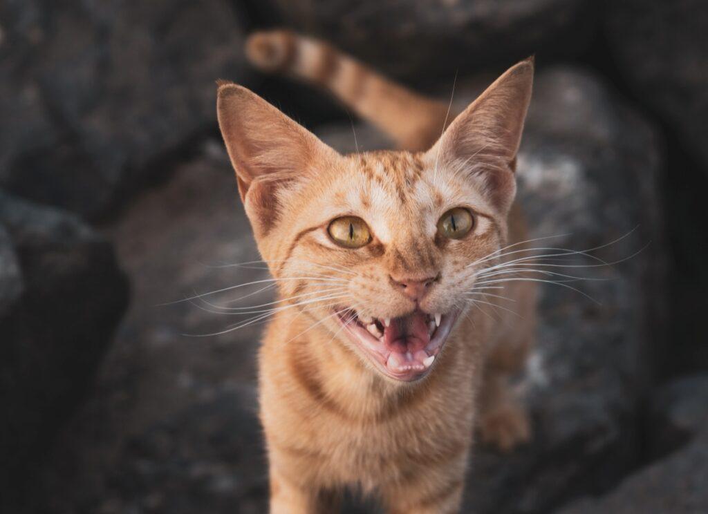 gatto miagola dolce