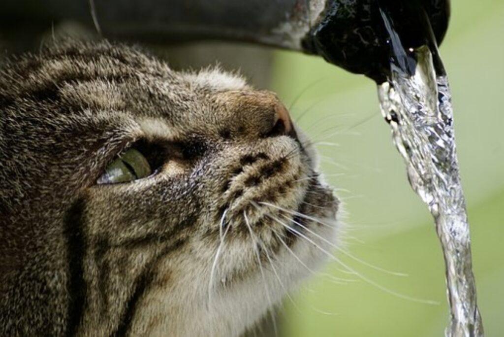 gatto soriano muso