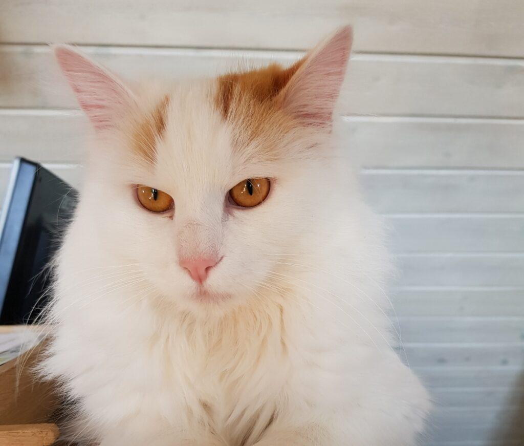 gatto bianco particolare