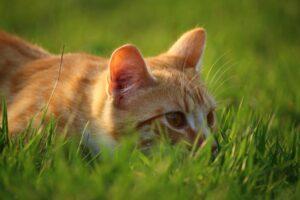 gatto arancione erba