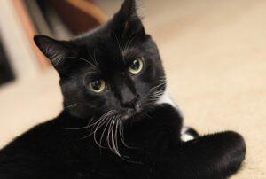gatto nero foto