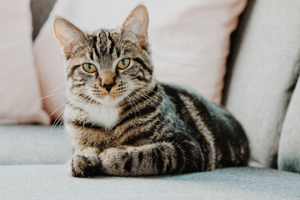 gatto soriano micio