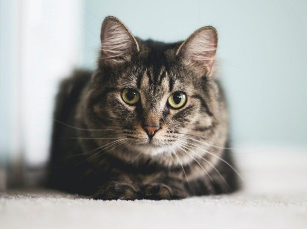 gatto seduto peloso