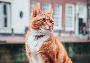 gatto arancione stupendo