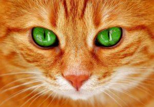 gatto arancione sguardo