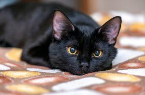 gatto nero occhi