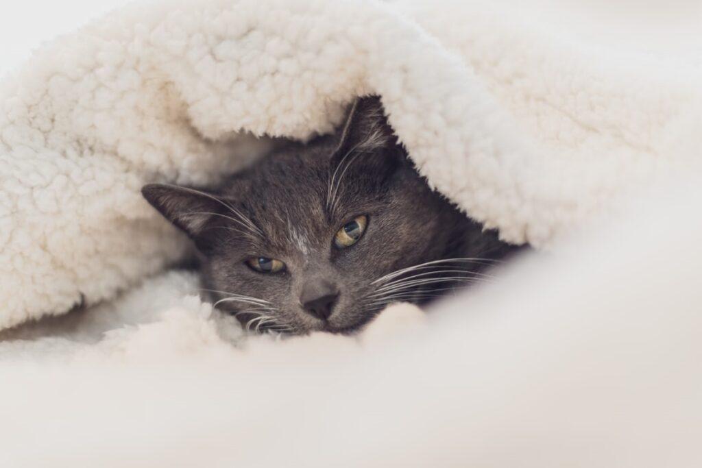gatto grigio coperte