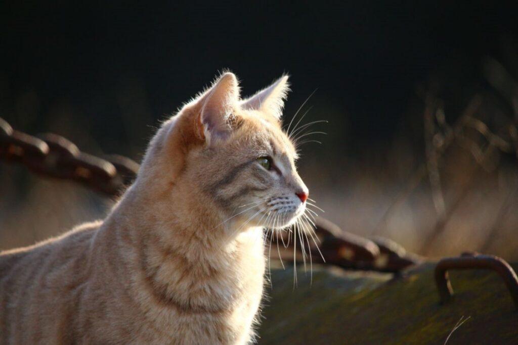 gatto orecchie fisso