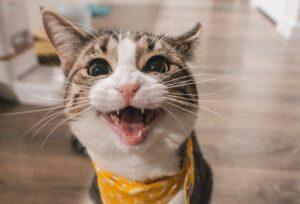 gatto miagolio bocca