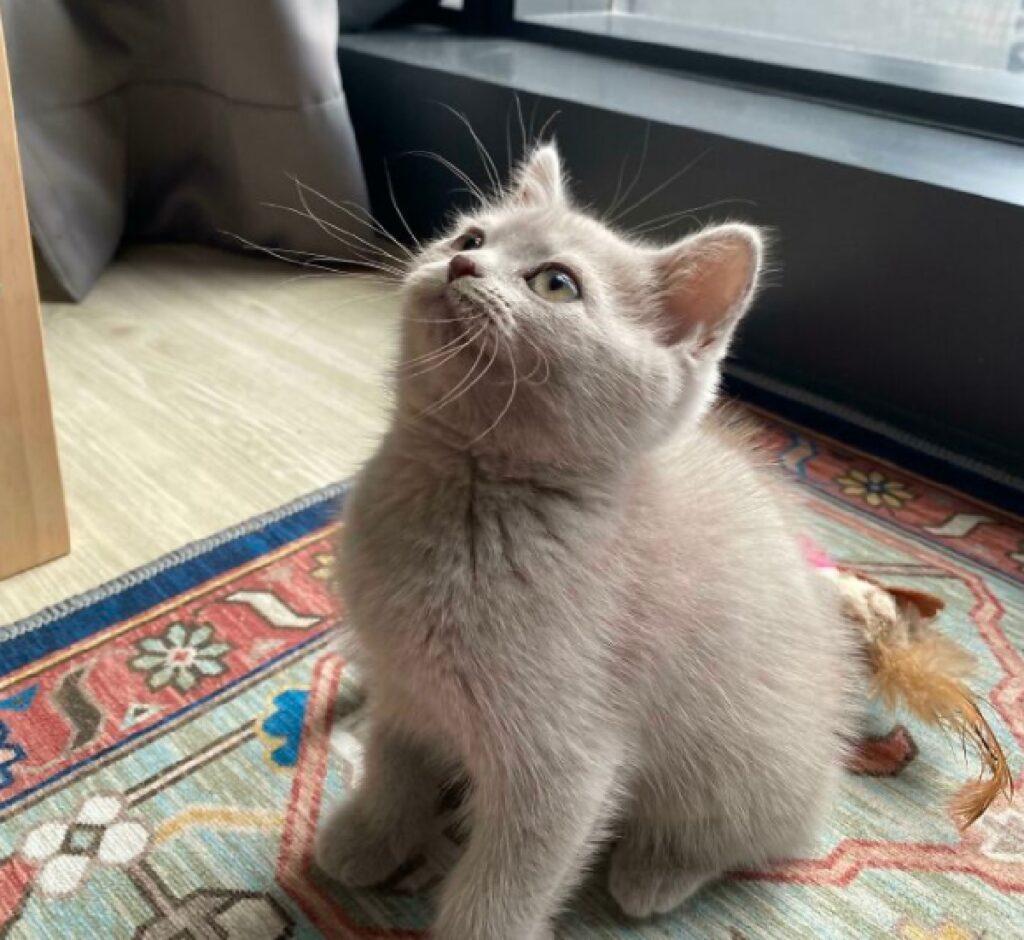 gatto bianco grigio sguardo
