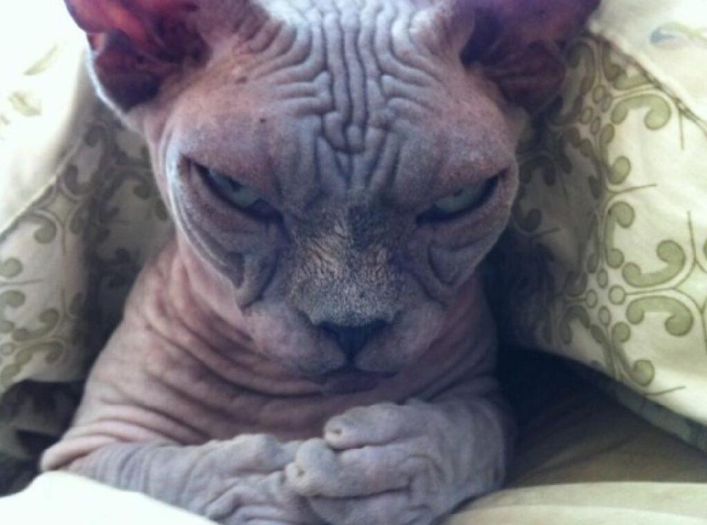 gatto senza pelo sphynx