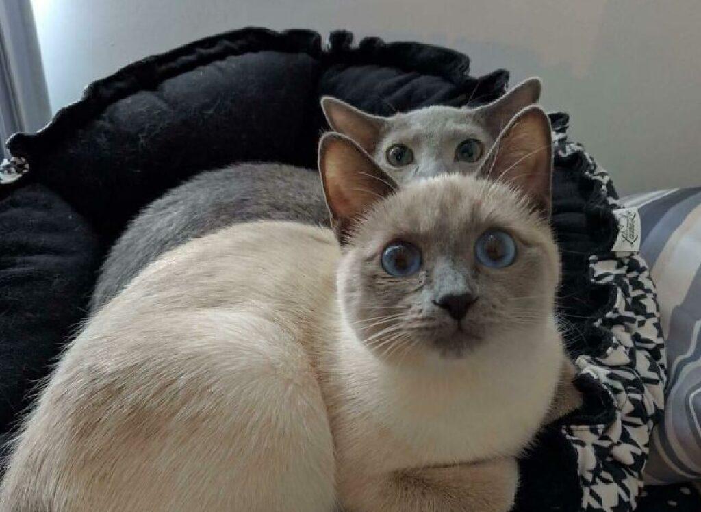 gatti testa sopra altra testa