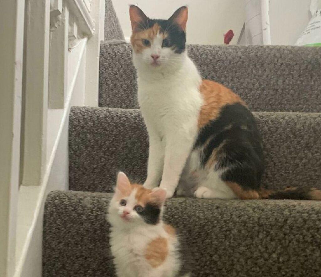 coppia gatti calico madre figlia