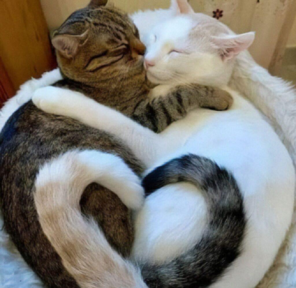 gatti abbraccio formano cuore