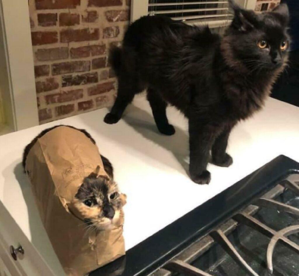gatto dentro busta cartone