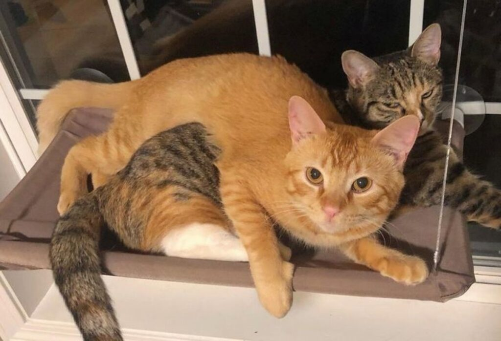 gatti stupendi coppia