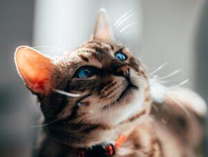 micio bellissimo gatto