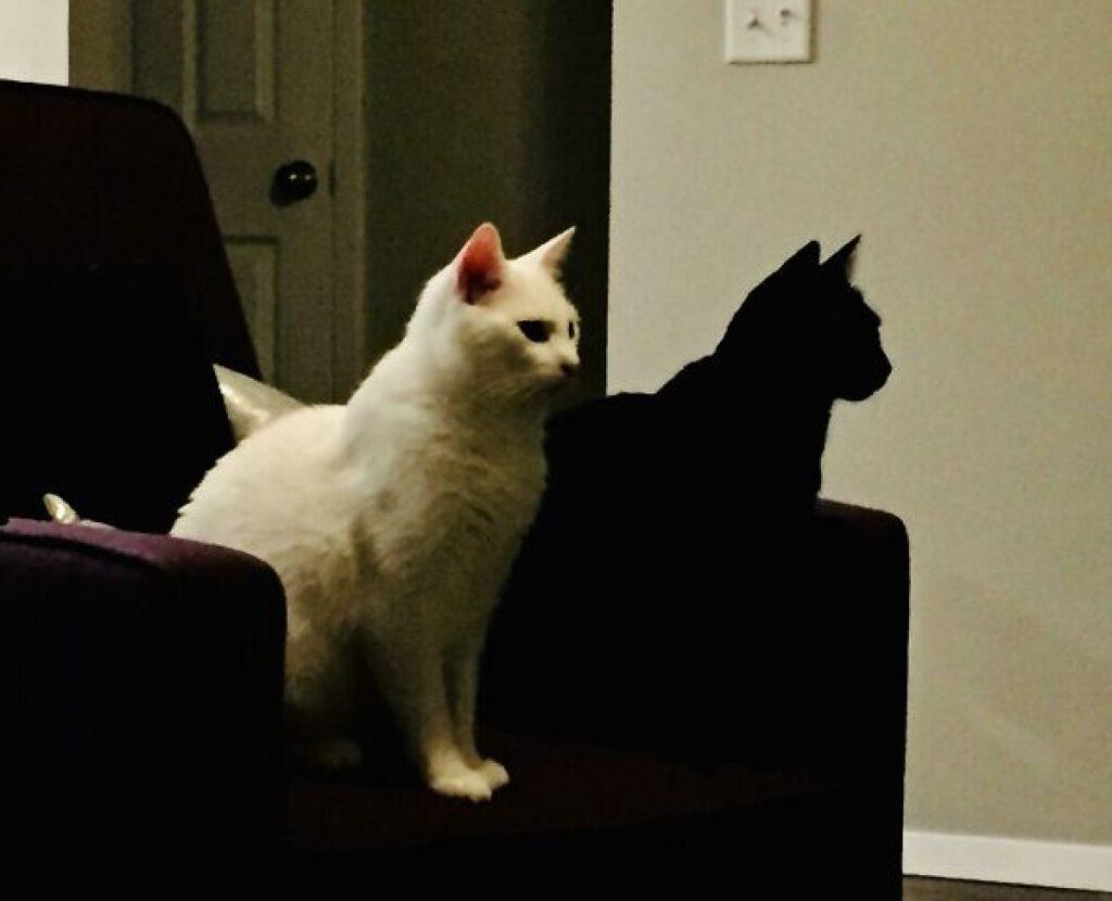 gatto nero ombra di quello bianco