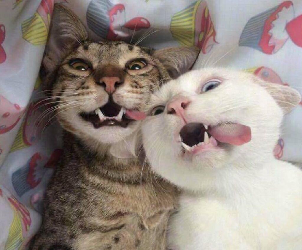 gatti lingua di fuori entrambi