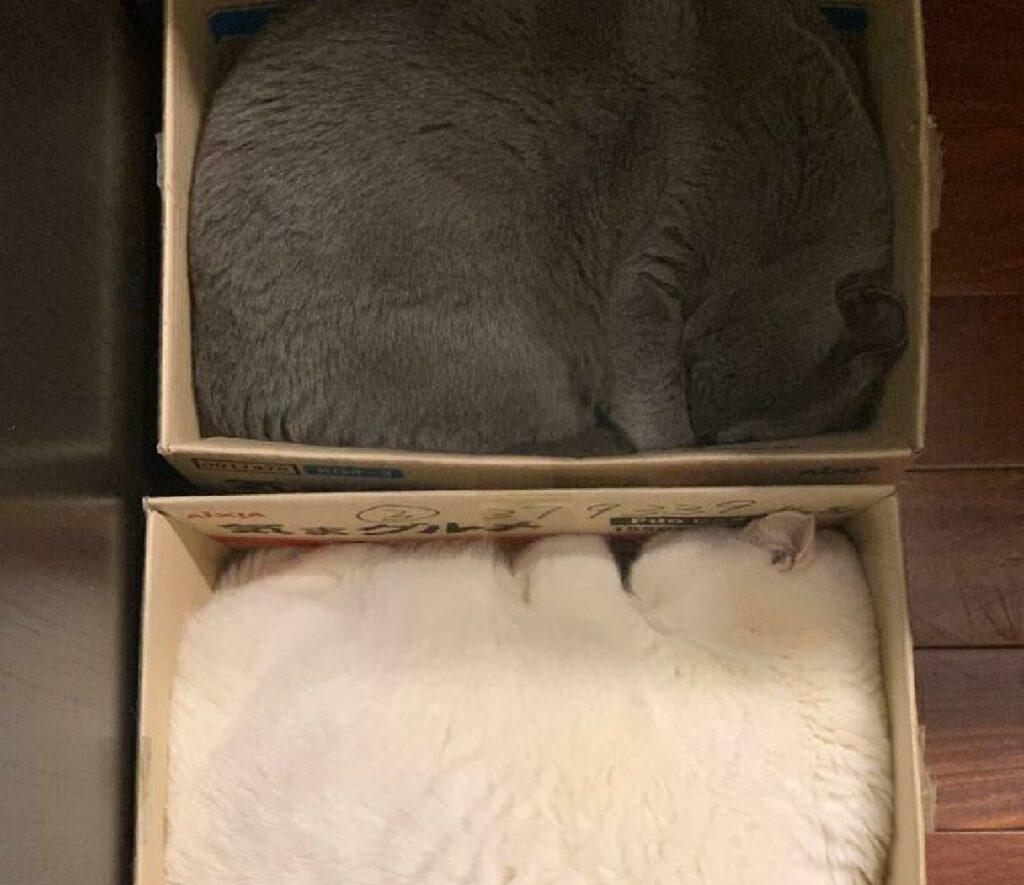 gatti assomigliano coperte