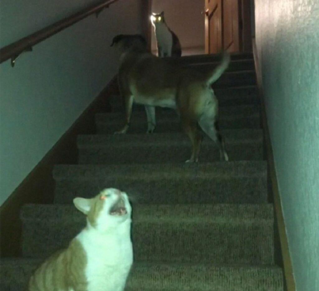 gatti imboscata cane scale