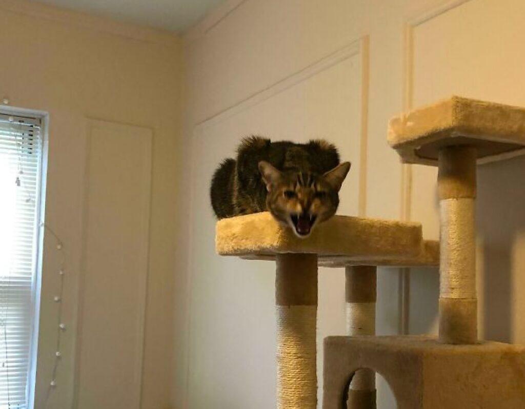 gatto aggressivo sopra albero felino