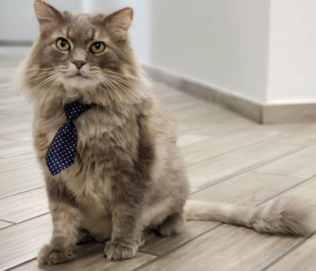 gatto con cravatta blu