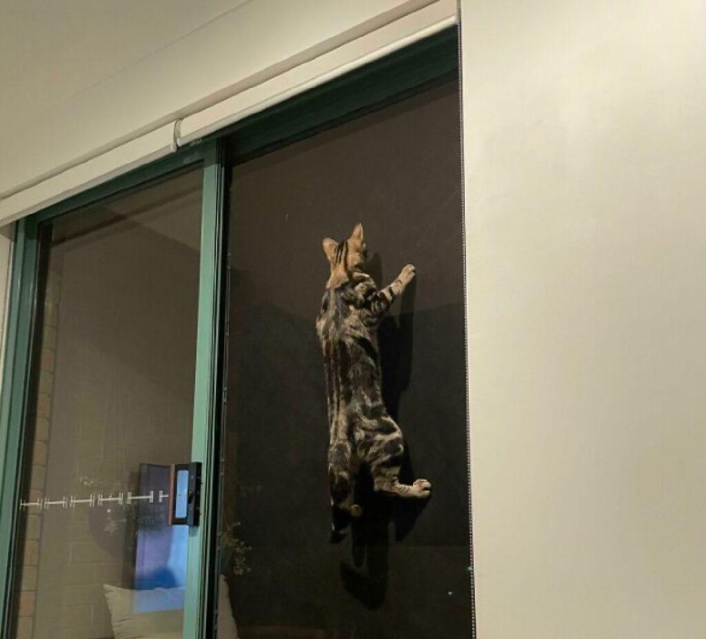 gatto si arrampica su parete