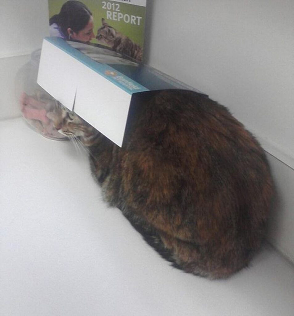 gatto scatola cappello