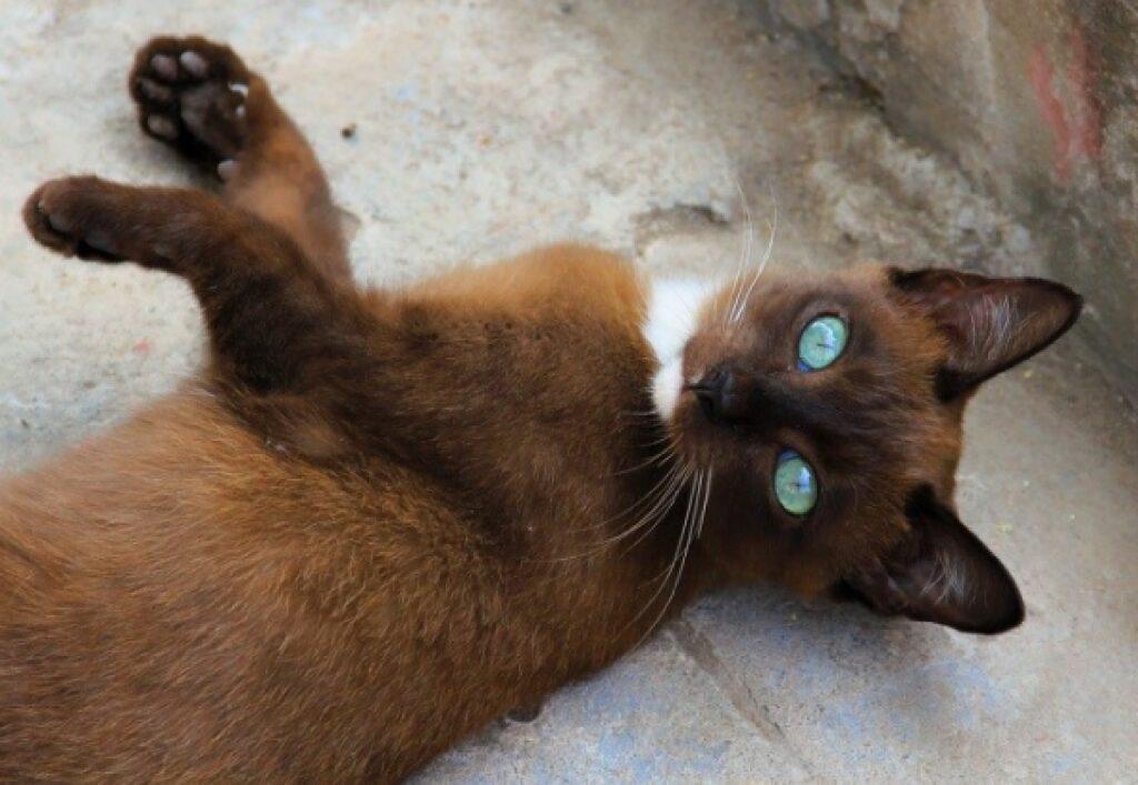 gatto marrone sembra volpe